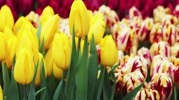 Frühling Tulpen. gelbe und bunte Blumen Nahaufnahme. video