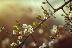 Cherry blossom in spring for background or copy space for text photo