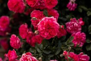 Flourishing pink rose bush, full bloom in the garden photo