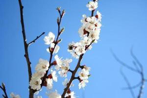 Cherry branch in bloom photo