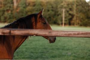 Pretty horse on a farm near a wooden fence in summer photo