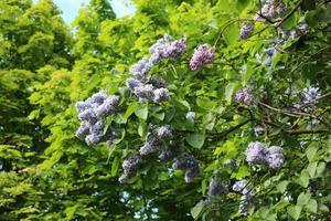 las ramas de color lila florecen contra los arces verdes foto