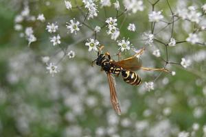 Hornet on small white flowers photo