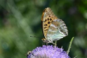 Variegated butterfly on a purple inflorescence photo