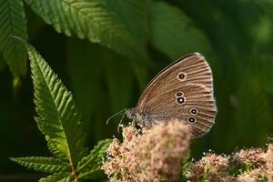 Small brown butterfly on a flowering bush photo