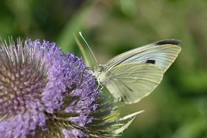 Yellowish butterfly on a purple inflorescence photo
