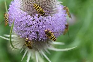 Bees collect honey on a purple inflorescence photo