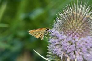 Small orange butterfly squats on a large flower photo