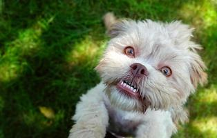 dulce lindo perro en la hierba verde foto