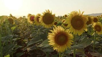 A Field of Flowers Blooming Sunflowers in The Evening video