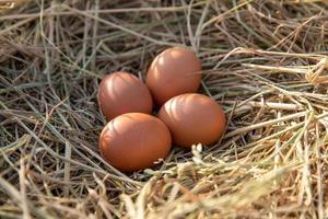 Chicken eggs in a chicken nest on rice straw photo