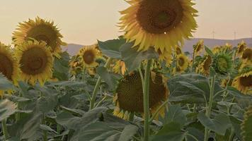 Close-Up of Blooming Sunflower video