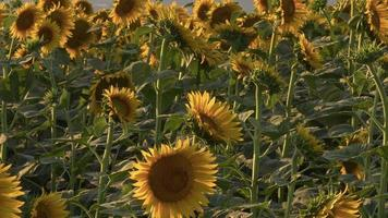 A Field of Sun Flowers video