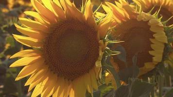 Bright Sunflowers Blooming in The Light video