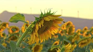Sun Setting on Blooming Sun Flowers video