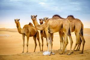 Wild camels in the desert photo
