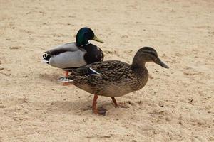patos salvajes en la playa foto