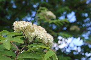White flowering branch of rowan photo