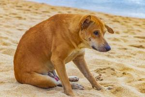 Sad and hungry stray street dog on the beach Thailand. photo