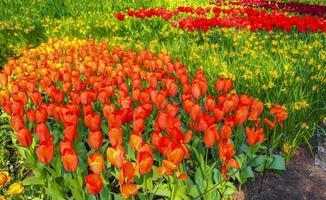 Many tulips daffodils Keukenhof park Lisse Holland Netherlands. photo