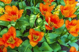 Colorful tulips daffodils in Keukenhof park Lisse Holland Netherlands. photo