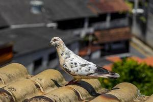 White pigeon on the roof in Angra dos Reis Brazil. photo