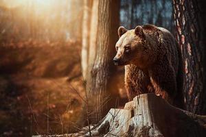 Brown bear Ursus arctos rest in the forest photo