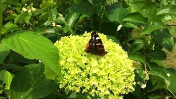 Big black butterfly Monarch walks on plant video