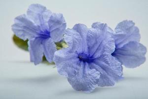 blue flower on white background photo