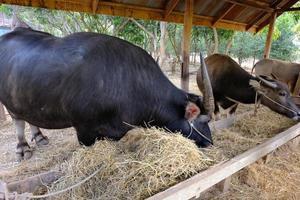 Big Buffalo in Farm photo