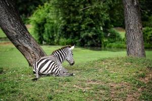 Fotografía de primeros planos de animales. cebra en la naturaleza. foto