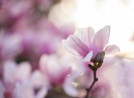Lotus magnolia flower photo
