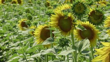 A Batch of Blooming Sunflowers video