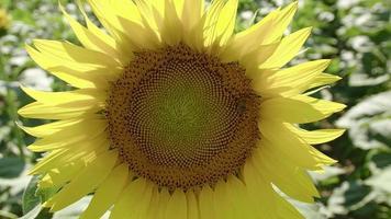 Close up Of a Rocking Sun Flower video