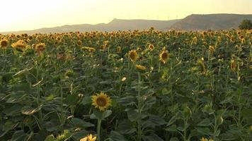 Blooming Sunflowers Filling a Field video