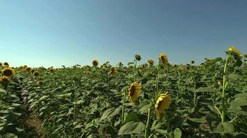 Sunflowers In A Field video