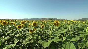 Field of Blooming Sunflowers video