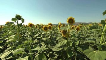 Blooming Of Sunflowers In A Field Footage video