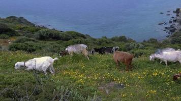 Rebaño de cabras que pastan en la ladera de flores junto al océano video
