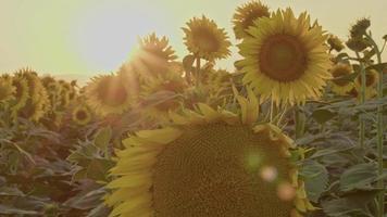girassol fresco de close-up durante a noite video