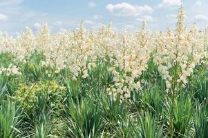 Growing field of yuka background photo
