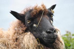Portrait of sheep on Faroe Islands photo