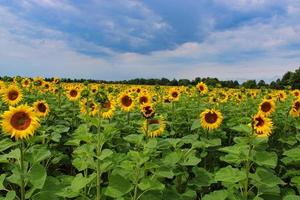 A field of sunflowers photo