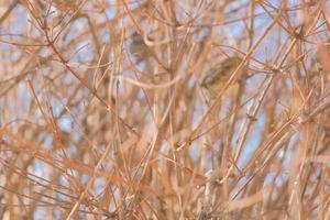 hiding sparrow shelter frost winter sunny day outdoor in the city photo