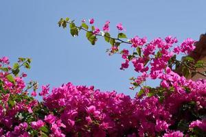 Bougavillia, exotic shrub in pink shade of colour in Crete, Greece. photo