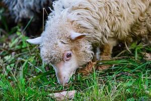 Sheep in the pasture photo