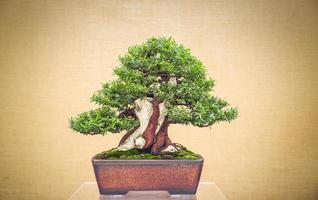 bonsai sobre fondo amarillo foto