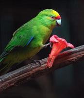 Yellow crowned parakeet photo