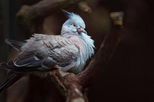 Crested pigeon on branch photo