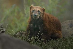 Portrait of Wolverine photo